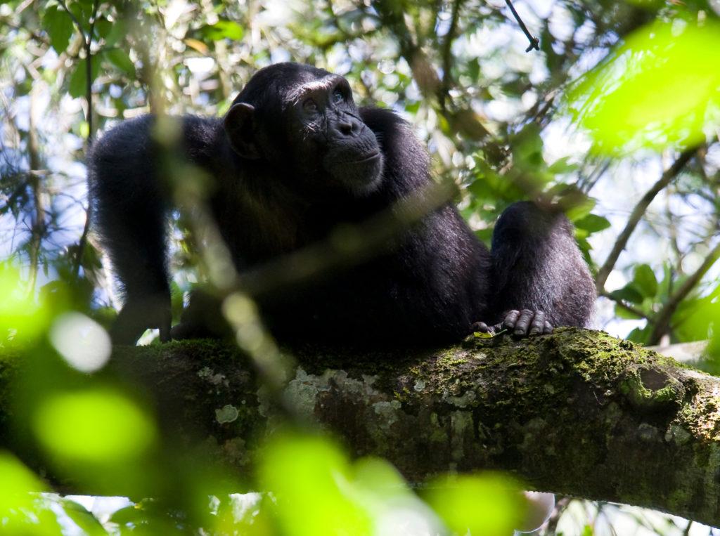 Uganda - 1568 - Kibale - Primate Lodge - Chimpanzee in the tree