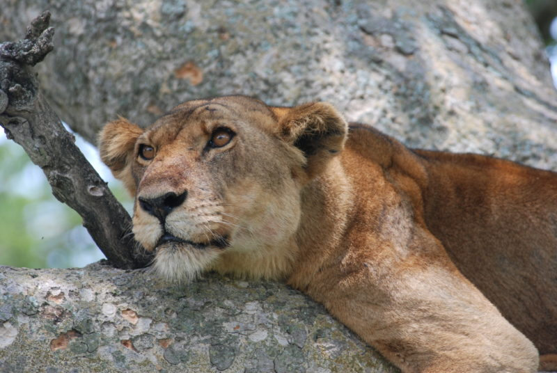 Uganda - 1568 - Ishasha Wilderness - Lioness tree climbing