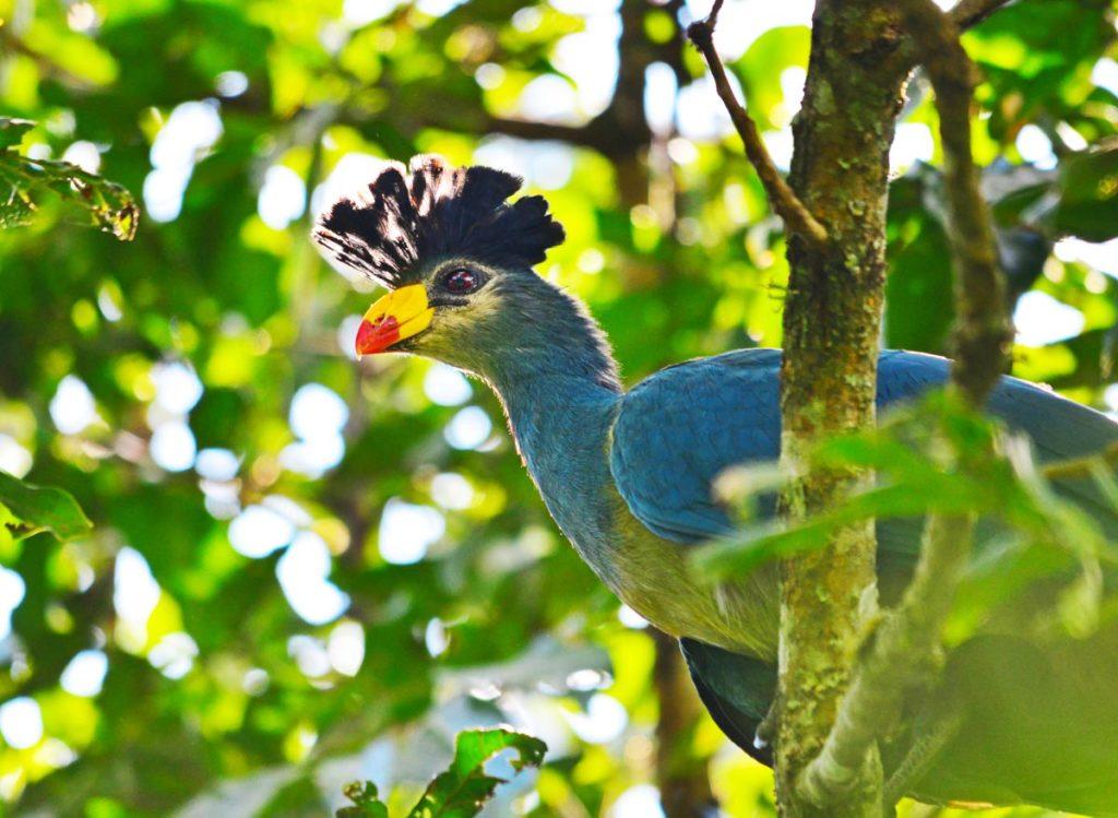 Uganda - 1568 -Uganda - 1568 - Kibale - Primate Lodge - Exotic Bird in the tree