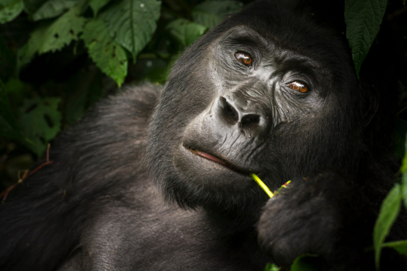Uganda - Bwindi Impenetrable Forest - Buhoma Lodge - Gorilla in the jungle eating
