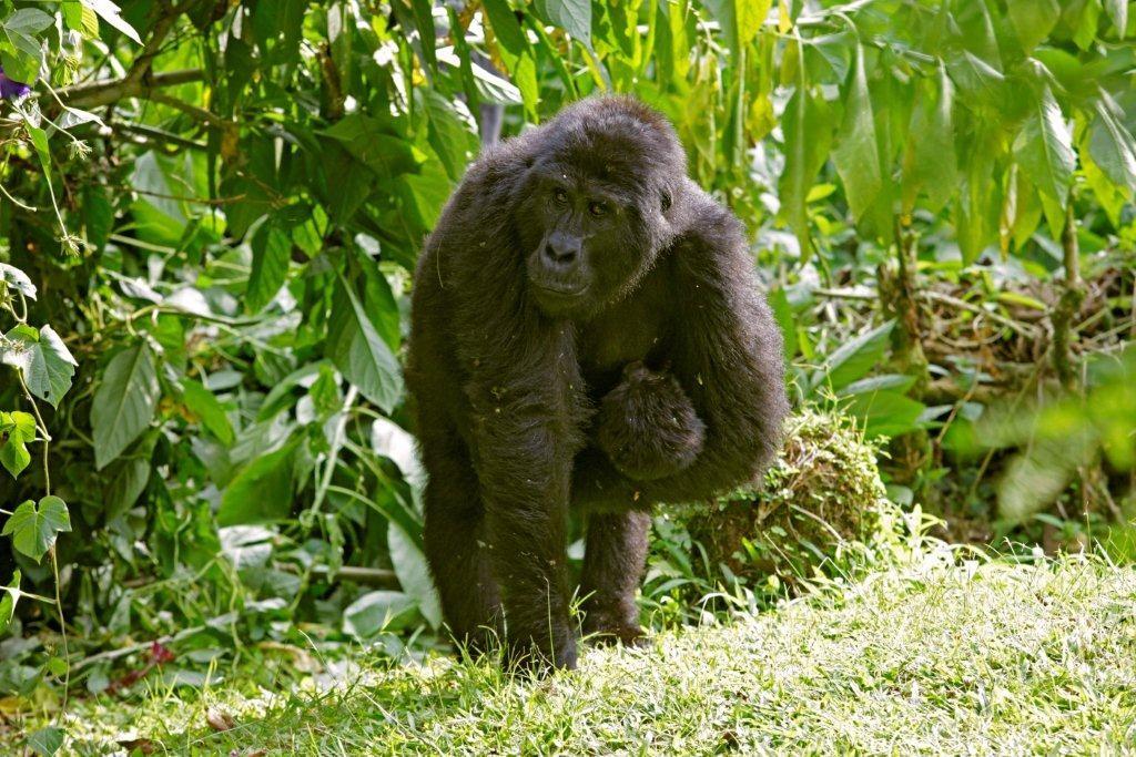 Uganda - 1568 - Bwindi Impenetrable Forest - Buhoma Lodge - Mother Gorilla and her baby