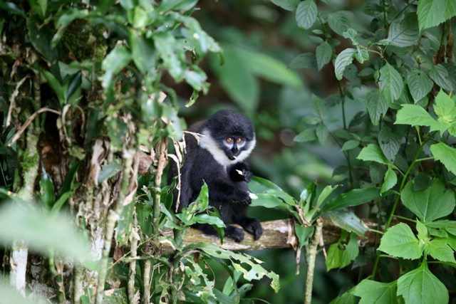 Uganda - 1568 - Bwindi Impenetrable Forest - Buhoma Lodge - Wildlife Primate