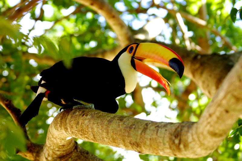 Brazilian Family Experience -1569 - Pantanal - Toucan Tropical Bird