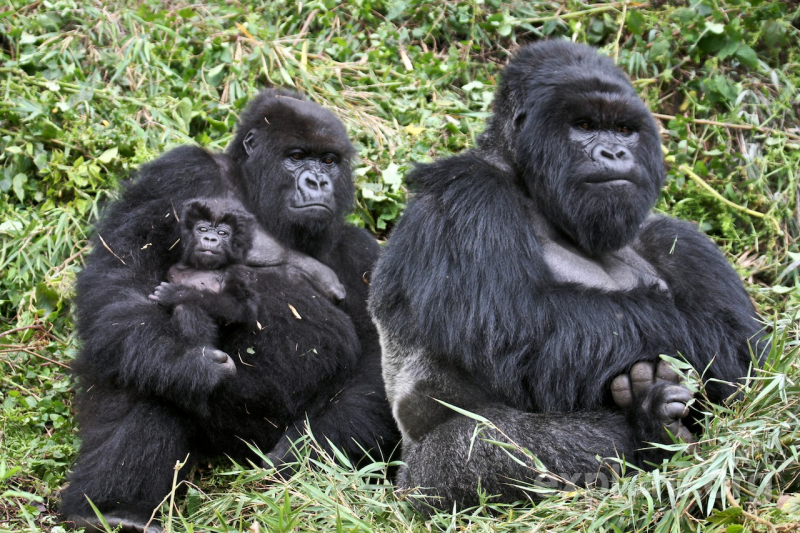 Rwanda -1568 - Gorilla Trekking - Baby, mother and Father Gorillas