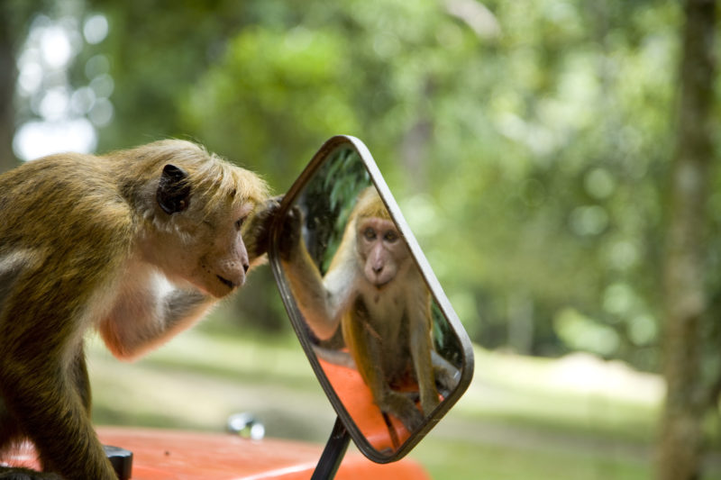 Sri Lanka - 1554 - Monkey in a mirror