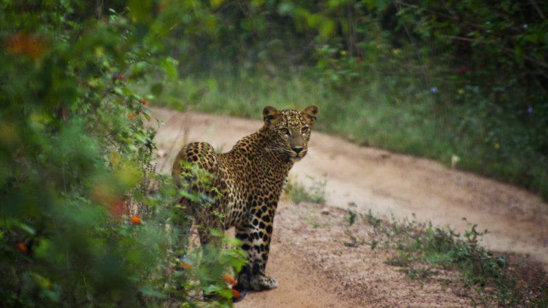 Photography Experience of Sri Lanka - 1567 - Yala Leopard
