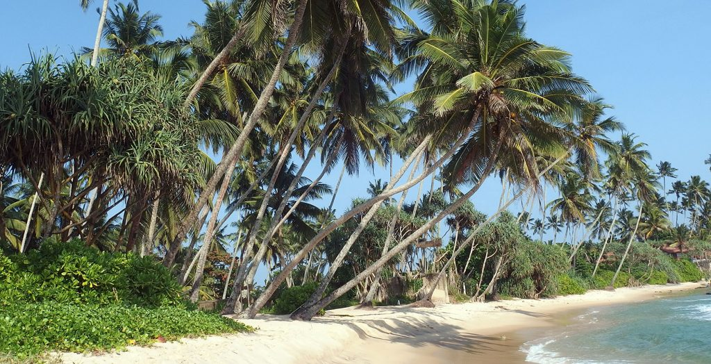 Palm Trees Sri Lanka