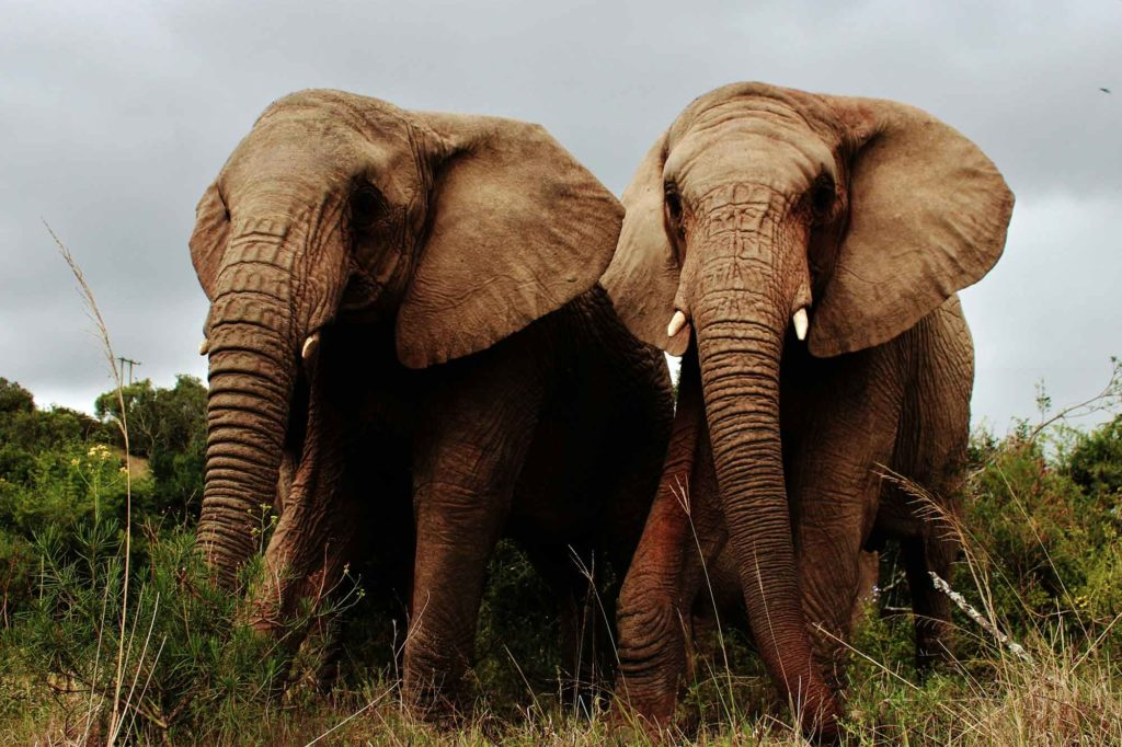 African Elephants in South Africa