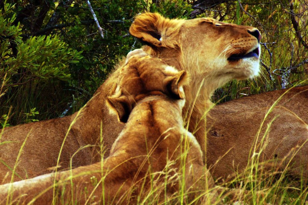 Lioness in South Africa