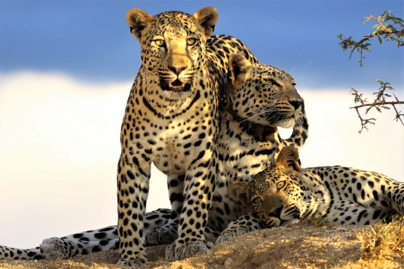 Namibia - 1552 - Namibia - Okonjima Nature Reserve - Okonjima Luxury Bush Camp - Leopard Sighting