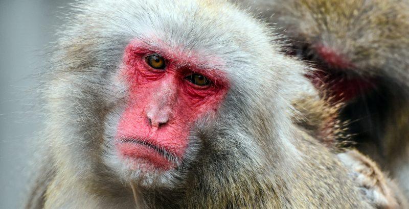 Japan - Monkey - 1842705