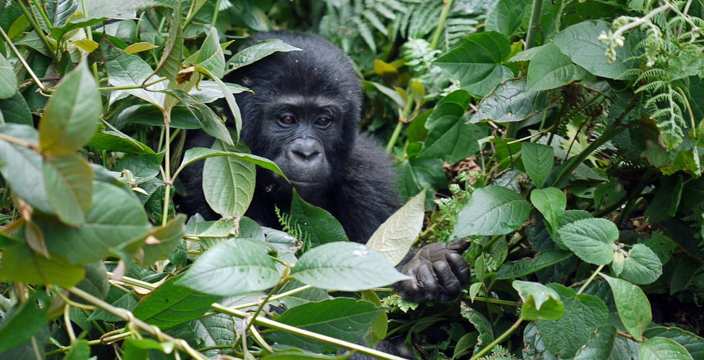 Uganda - 1568 - Bwindi Impenetrable Forest - Buhoma Lodge - Baby Gorilla hiding in the jungle bush
