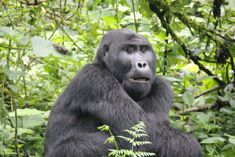 Uganda - 1568 - Bwindi Impenetrable Forest - Buhoma Lodge - Gorillas