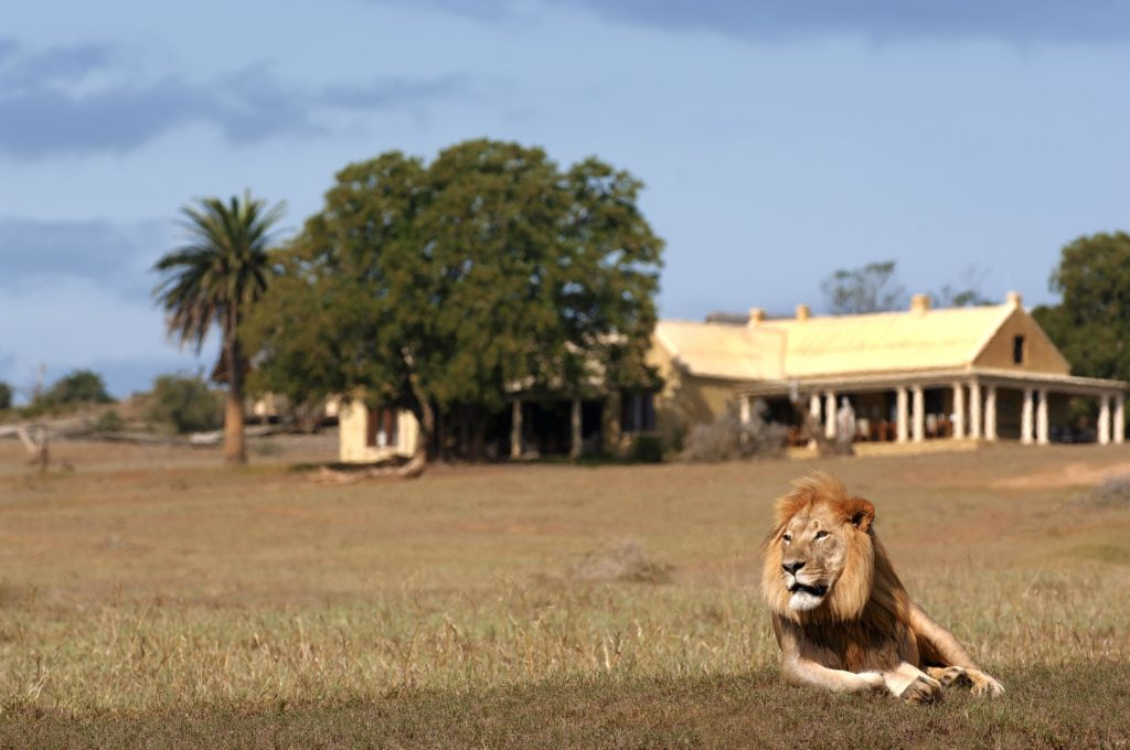 South Africa - Eastern Private Game Reserves - Gorah Elephant Camp - Lion in front of lodge
