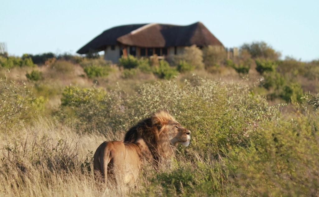 Kwando Tau Pan Camp - Central Kalahari Game Reserve - Lion at camp