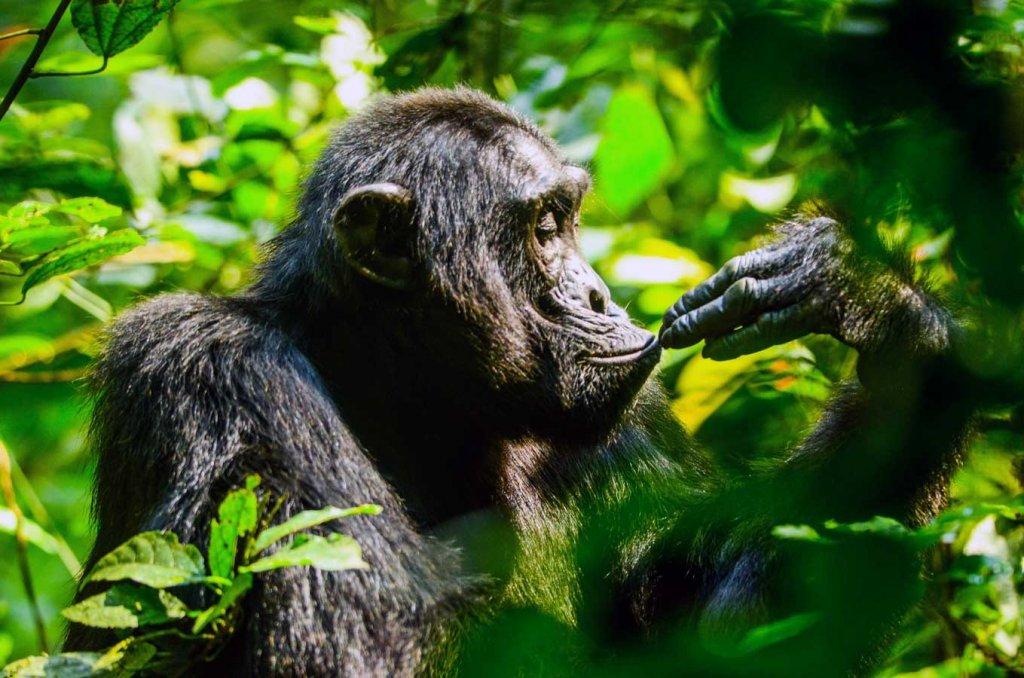 Budongo Eco Lodge Chimpanzee Experience