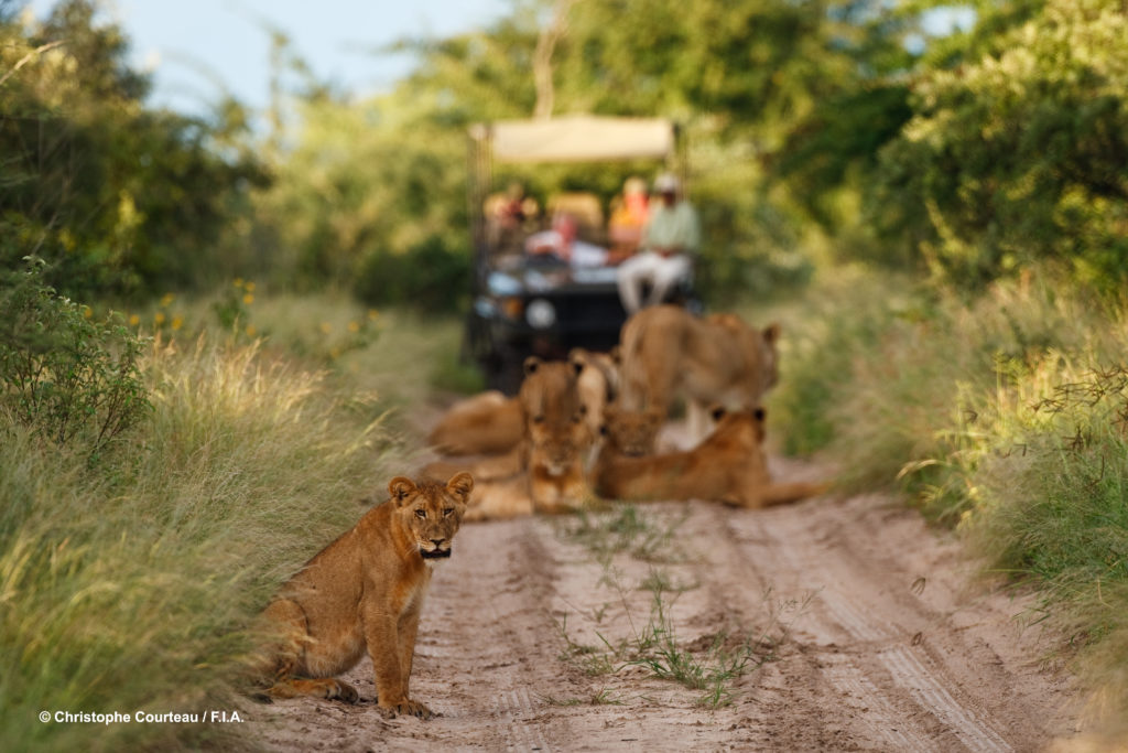 Botswana - Private Reserve (Near Kalahari) - Deception Valley Lodge Safari Game Drive lion Encounter