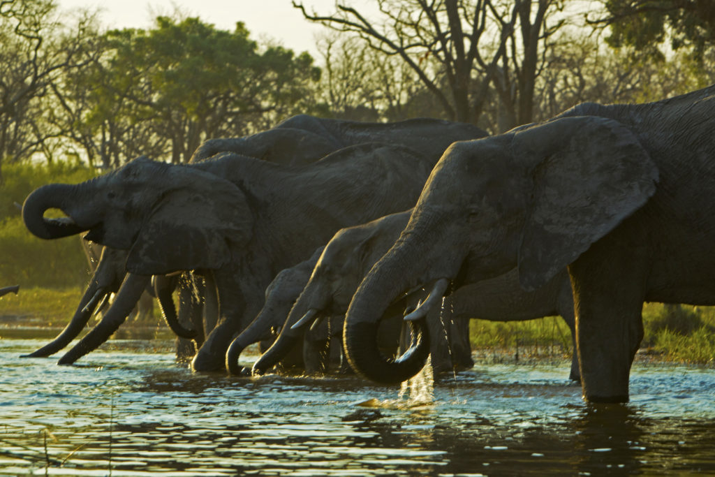 Botswana - Selinda Reserve - Selinda Explorers Camp - Elephants Drinking