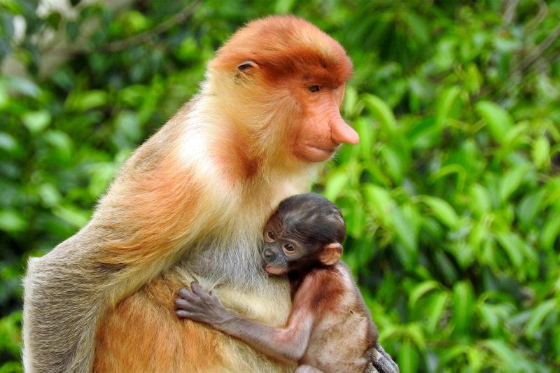 Monkey - Borneo - 18266