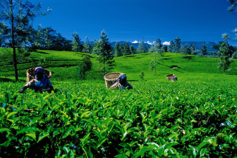 Classic Ceylon Sri Lanka - 1567 - Tea Leaf Picking