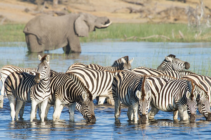 Botswana Desert to Delta - 1553 - Zebra Migration and Elephant Drinking