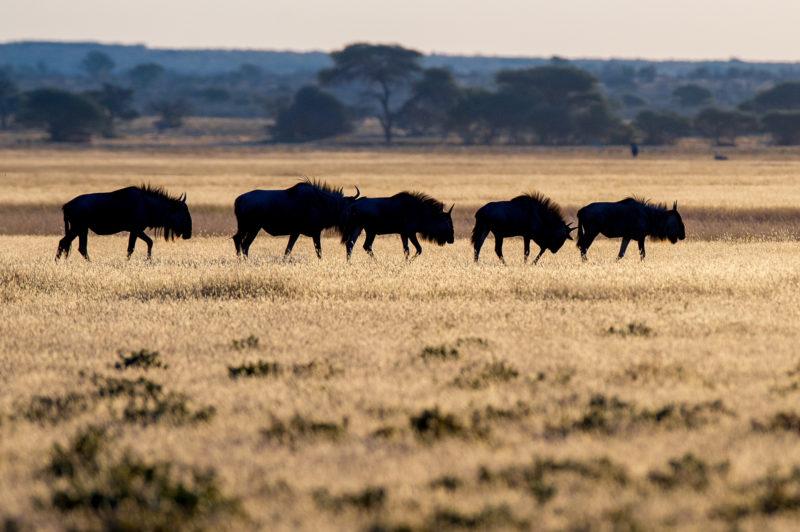 Botswana - 1553 - kwando - buffalo