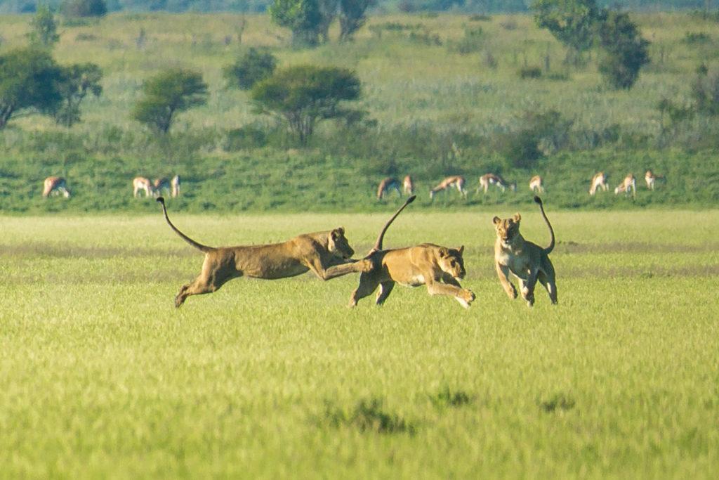 Botswana - 1553 - three lions - jumping