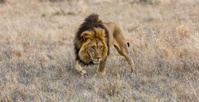 Botswana - 1553 - male lion - dark mane