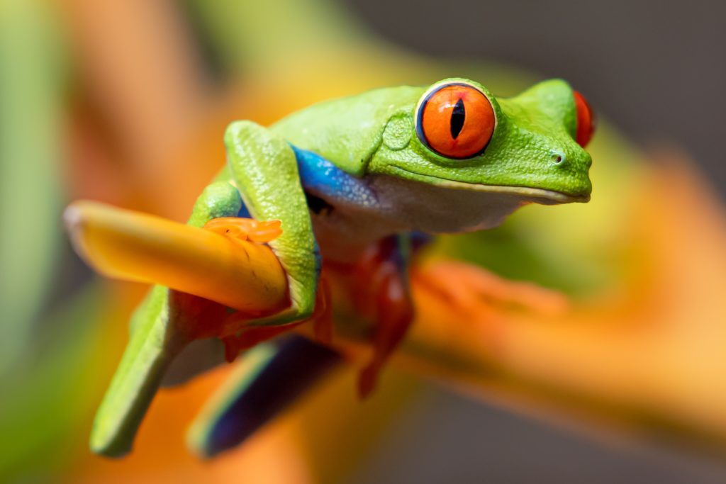 Chile - 1570 - Boca Tapada - Frog