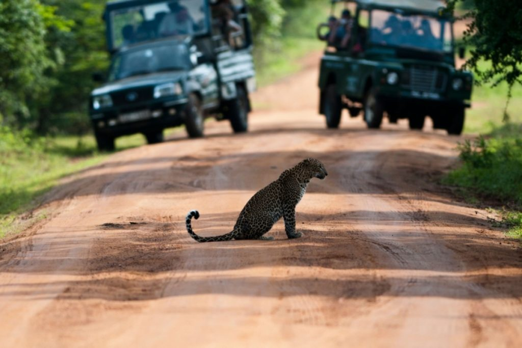 Exquisite Sri Lanka - 1567 - Yala Jeep Safari - Leopard Crossing