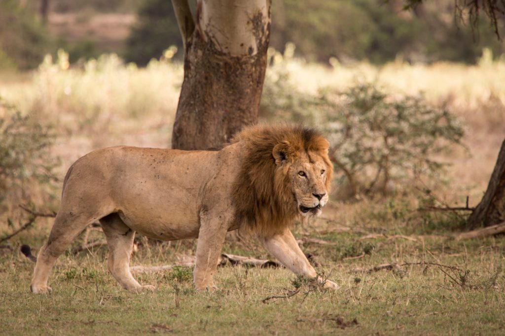 Kenya - 12890 - Male lion at Solio Lodge - Prowling Lion