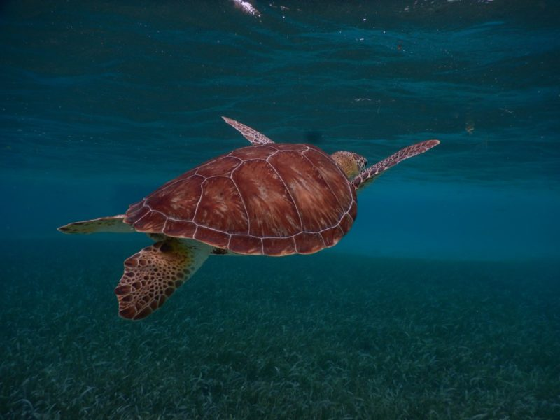 Belize San Pedro Adventure - San Pedro - Sea Turtle at Hol Chan Diving