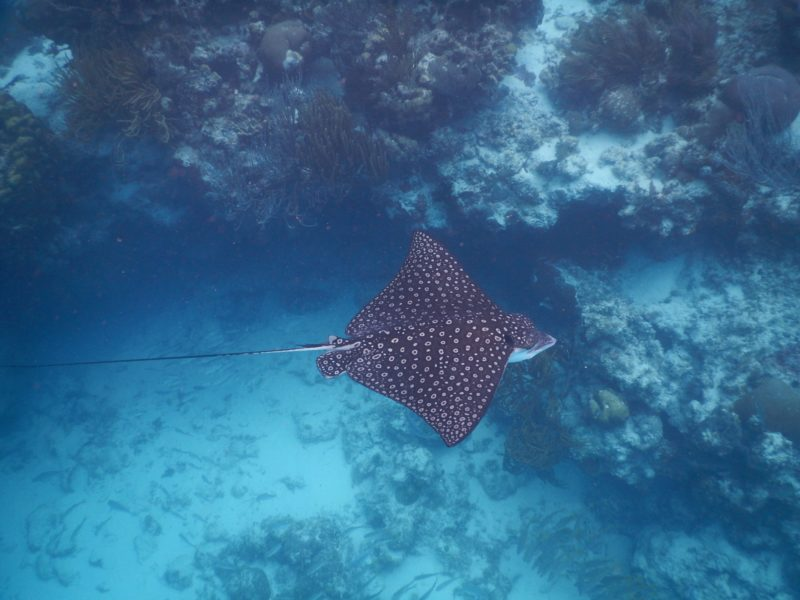 Belize San Pedro Adventure - San Pedro - Spotted eagle ray at Hol Chan Diving