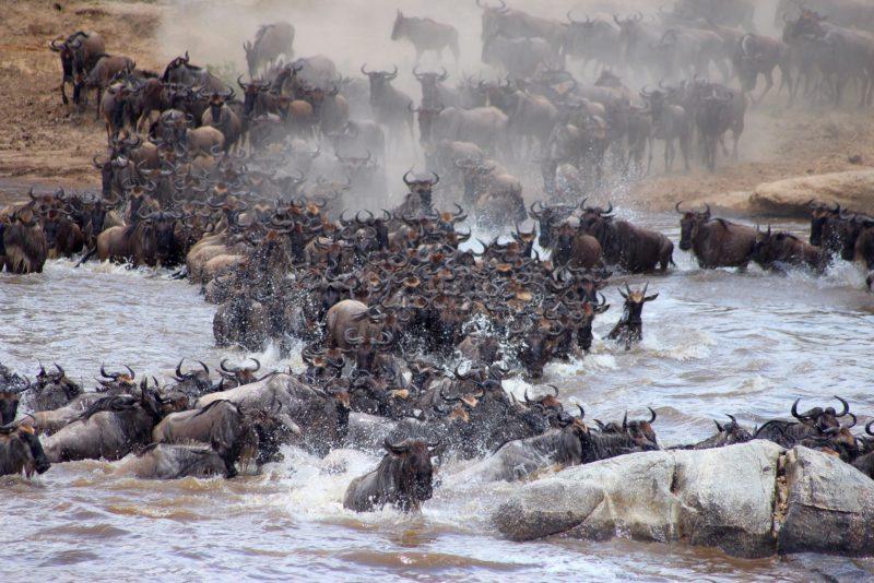 Kenya - 12890 - Wildebeest Crossing - Mara Bushtops