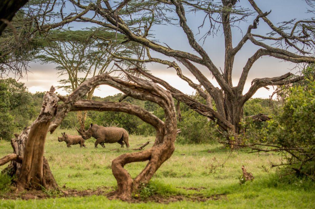 Kenya - 12890 - Baby Rhino and Mother hidden in the Kenyan Bush