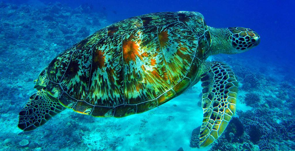 Indonesia - Sanur - 18268 - Turtle