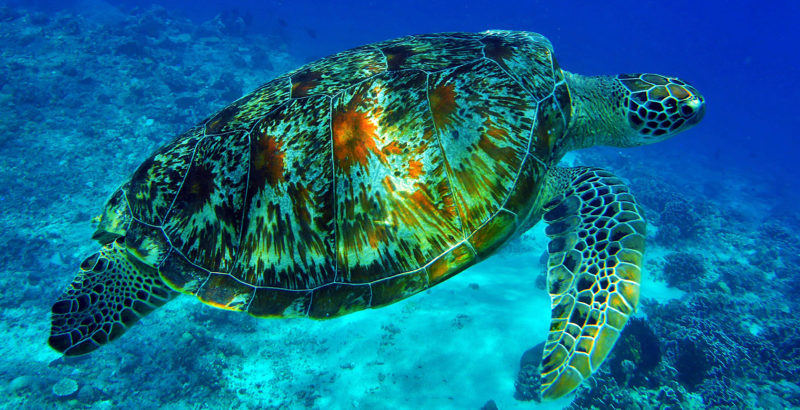 Indonesia - Sanur - 18268 - Turtle