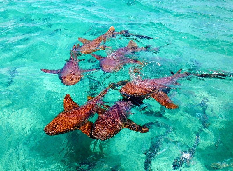 Highlights of Belize - 10024 - Shark Ray Alley in Hol Chan National Park