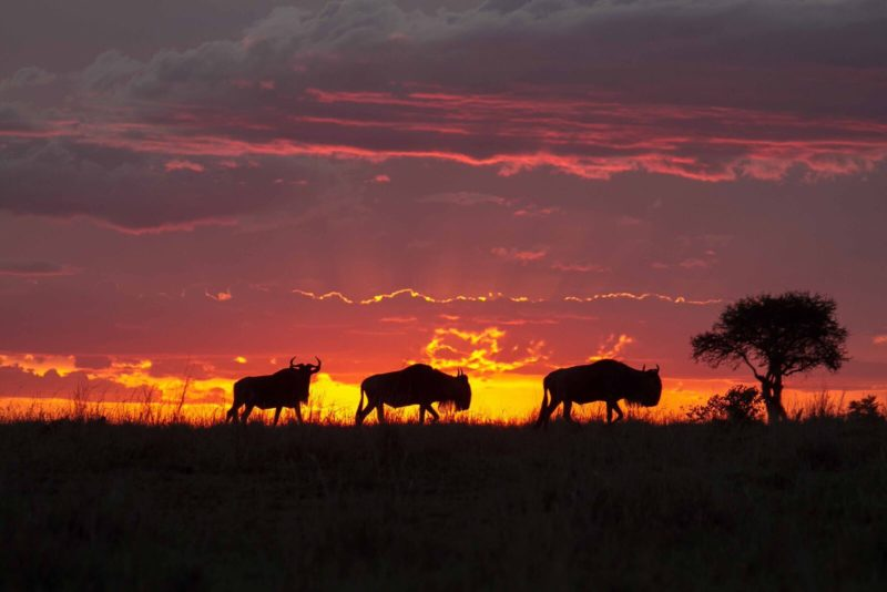 Kenya - 12890 - Sunset Mara - Wildebeest