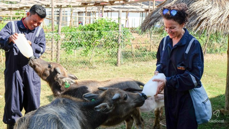 Luang Prabang - Laos - 17089 - Buffalo Dairy Farm