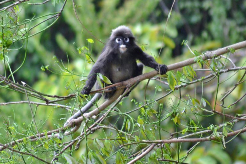 Malaysia - 18266 - Mangrove Monkey