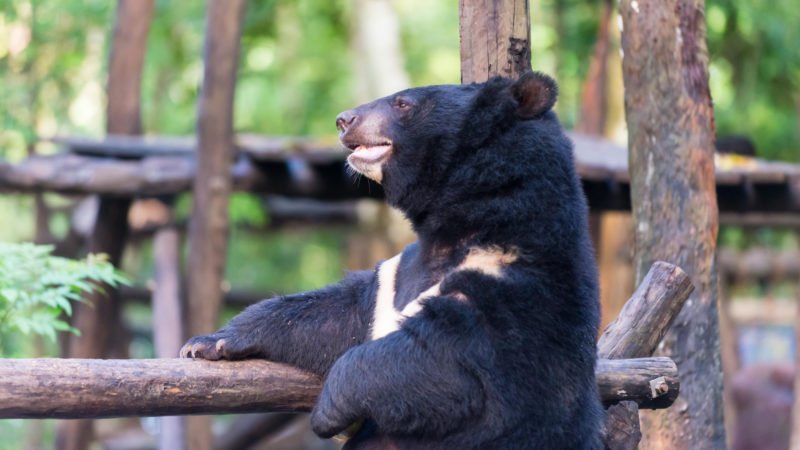 Luang Prabang - Laos - 17089 - Bear Rescue