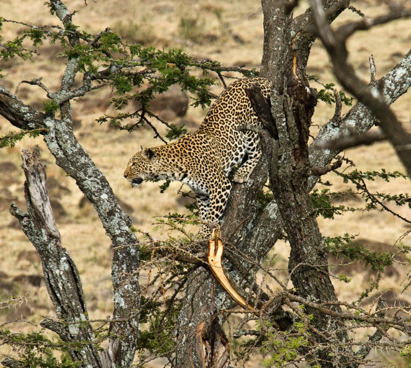 Kenya - 12890 - Karen Blixen Camp Wildlife - Cheetah in the tree