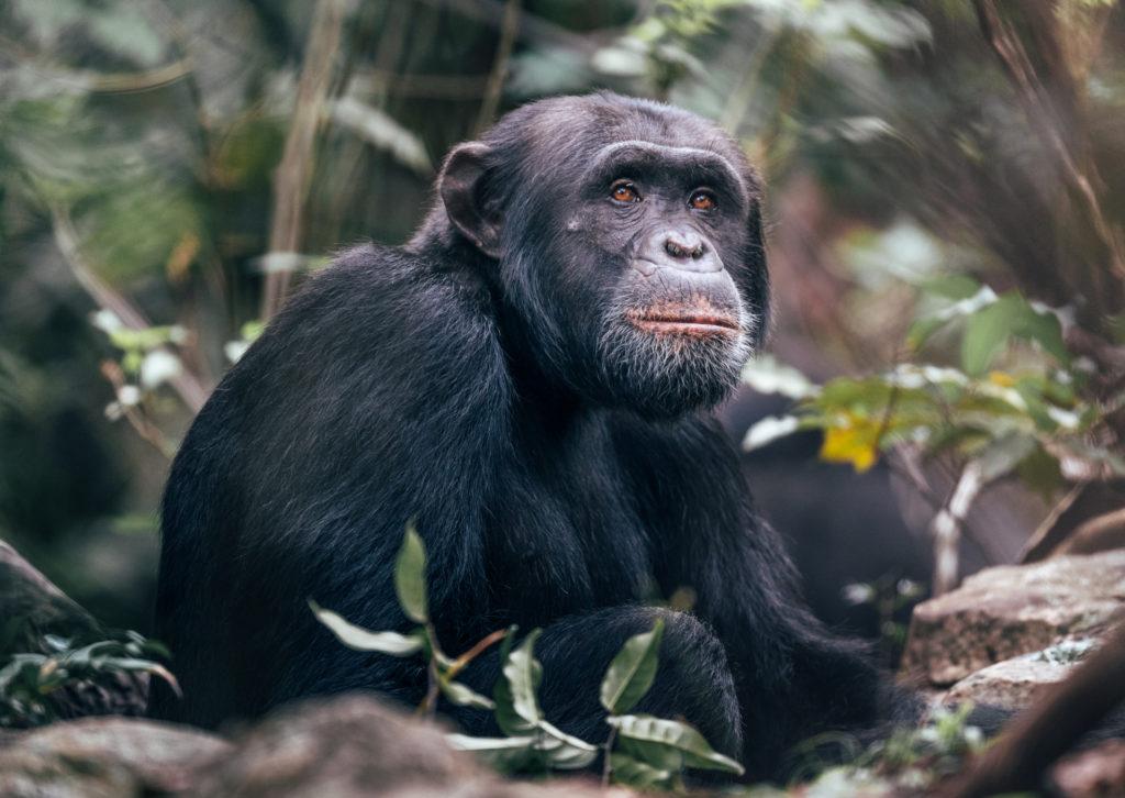 Tanzania - 17467 - Rubondo Island - Chimp Habituation Project - Chimpanzee hiding in the forest