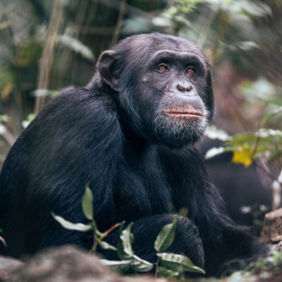 Tanzania Serengeti Migration and Chimps