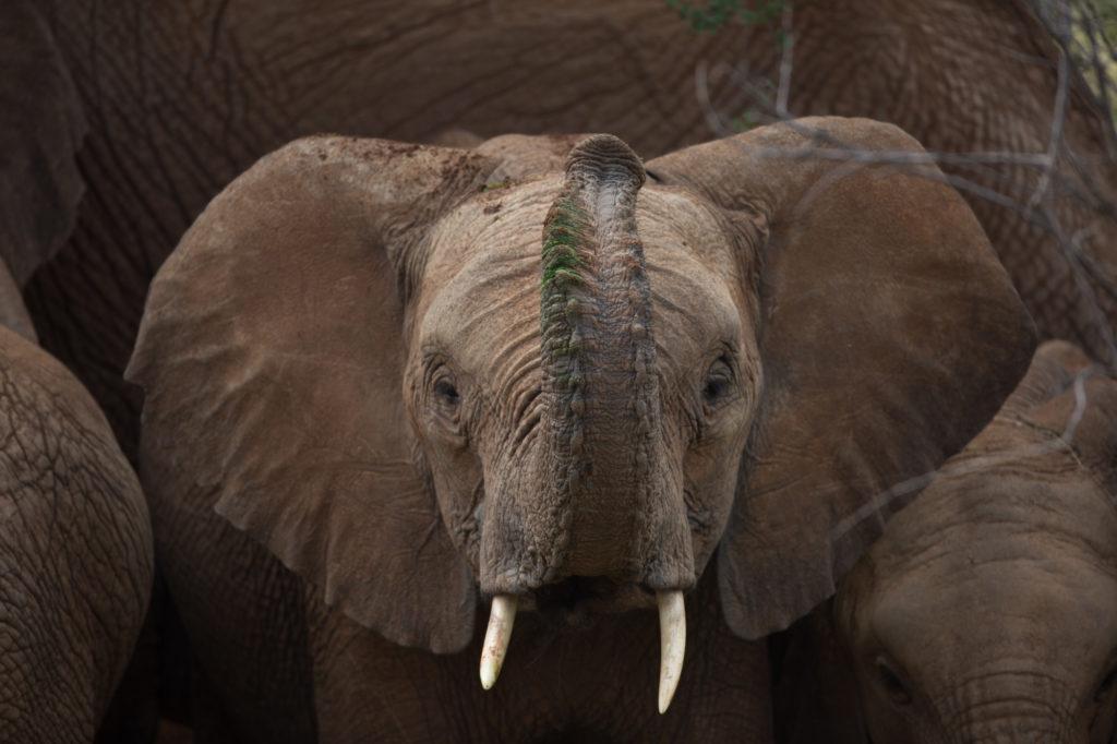 Kenya - 12890 - Baby Elephant - Raised Truck