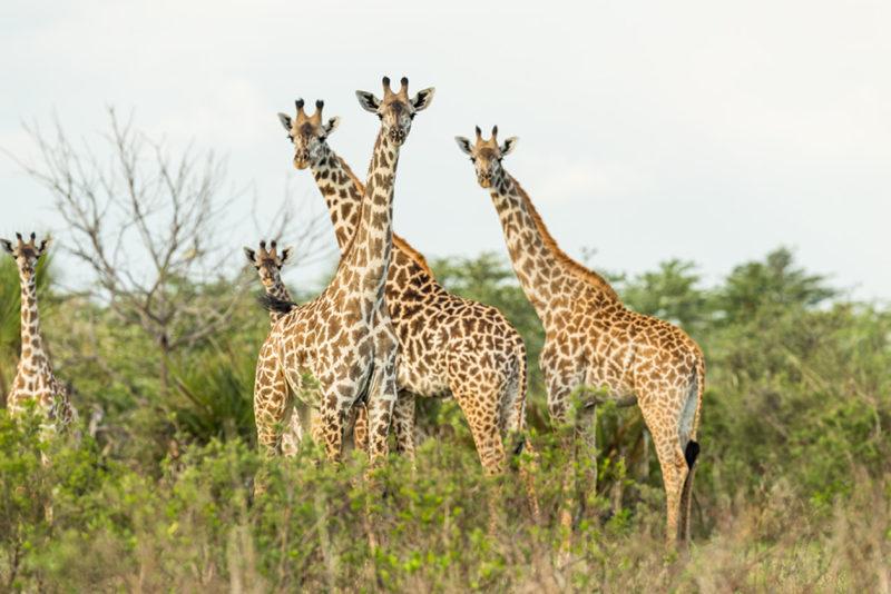Tanzania - 17467 - asilia roho giraffes - 3 giraffes