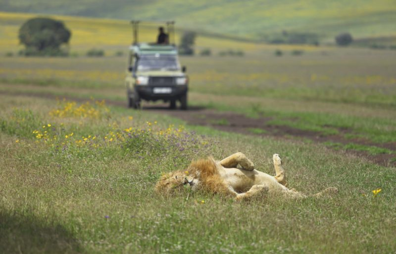 Tanzania - 17467 - The Highlands Camp - Lion in Ngorongoro