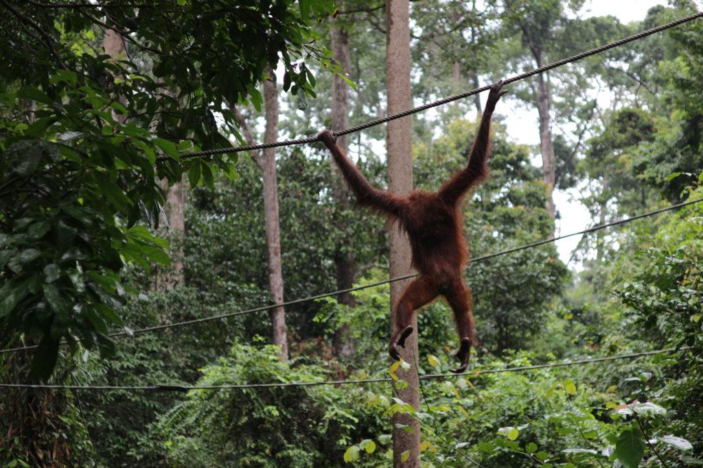 Malaysia - 18266 - Conservation Centre - Swinging Orangutan