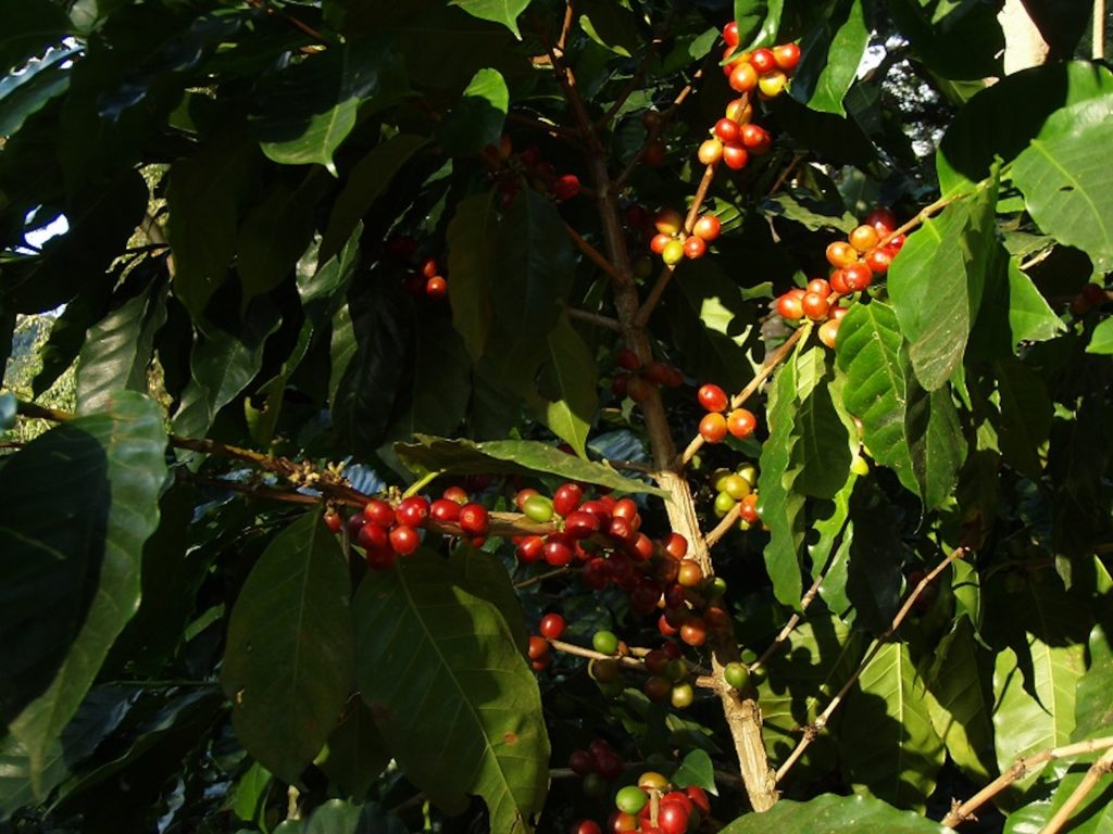 Nicaragua - 10024 - Northern Nicaraguan Treasures - Coffee plant close up